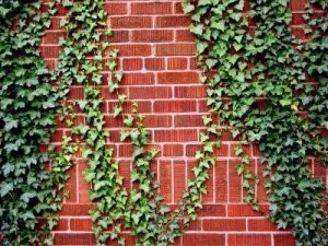 ivy_vine_growing_on_brick_s